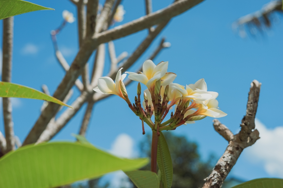 Frangipani (Kemboja Flowers)